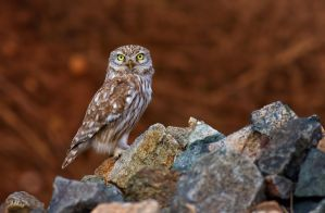 little owl by ardanuc
