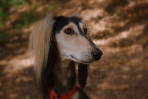 Shiva the Saluki by Wunderling