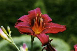 Red Flower. by reemergence
