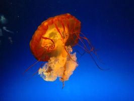 Orange Jellyfish by chaimonkey