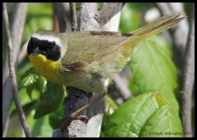 Common Yellowthroat by EWilloughby