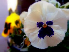 Pansy by KayleighOC