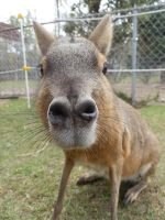 Patagonian Cavy Kisses by galianogangster
