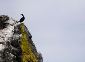 Shag on a Rock by fraughtuk