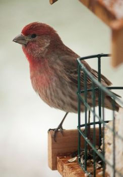 House Finch by LakeFX