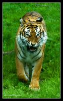Big Cats by Haywood-Photography