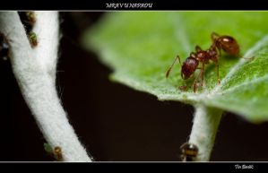 Ant about to attack by tbensic