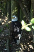 bald eagle by jchrist04