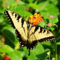 Swallowtail V by LDFranklin