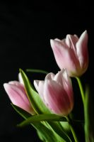 nature 0133 flowers TULIPS by remigiuszScout