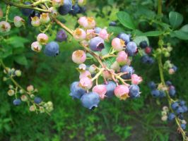 Blue Berry Bush by JE5S