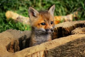 Baby Fox by Sagittor