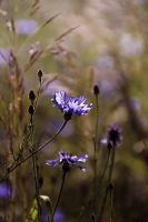 Corn Flower by Justine1985