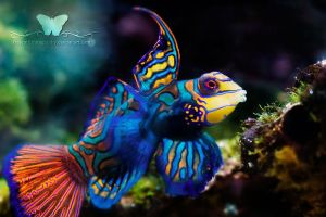 Mr. Mandarin by FreeSpiritFotography