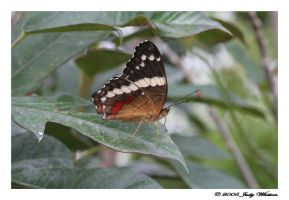 Banded Peacock Butterfly by Tazzy-