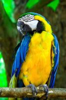Blue Gold Macaw 01 by otas32