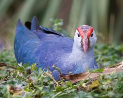 Purple Swamphen 2 by SnowPoring