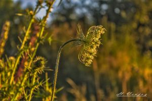 wild carrot  Carotte sauvage by hubert61