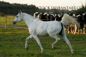 Grey Mare Stock 3 by Colourize-Stock
