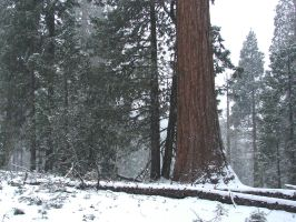 Sequoias in California 1 by FantasyStock