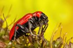 Scarlet Lilly Beetle Series 1-1 by dalantech