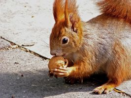 Hungry Squirrel by flocka