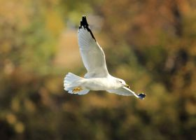 Ring Billed Gull in flight by sgt-slaughter
