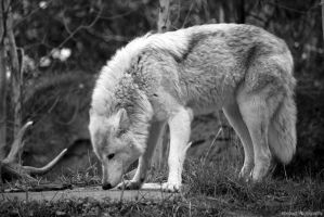 Wolf by Aberrant-Photography