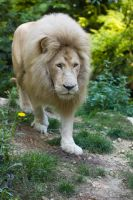 6597 - White lion by Jay-Co