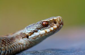The adder by AngiWallace