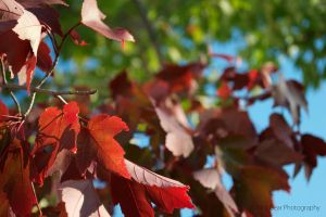 Red Afternoon Leaves by ThirdGearPhotography