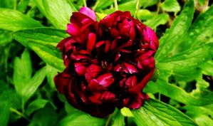 Peony by graphic-rusty