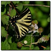 Anise Swallowtail  IV by LoneWolfPhotography