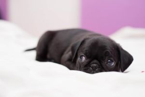 Tired baby pug by MinhVisual