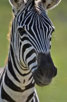 Zebra 3866 by robbobert