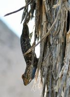 Great Basin Fence Lizard on tree by fosspathei