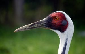 White-naped Crane (Grus vipio) by Steve-FraserUK