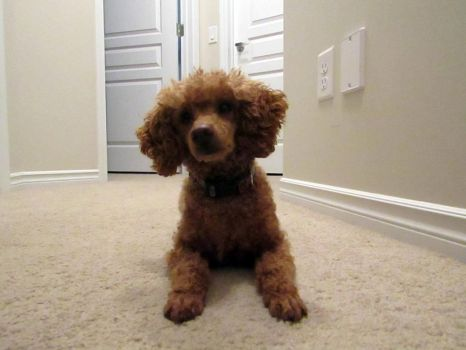 Toy Poodle 16 by Andahliasaur