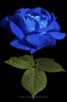 Blue Rose by mattTIDBALL