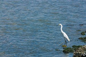 Egret by luneves