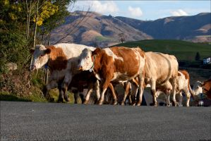 Cows in the village 05 by Markotxe