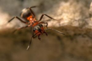 ant  Fourmie2 by hubert61