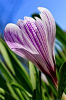 Crocus iii by Little-Miss-Splendid