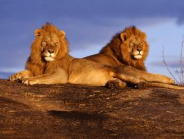 Lions by Leo250