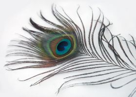 peacock feather 1 by LucieG-Stock