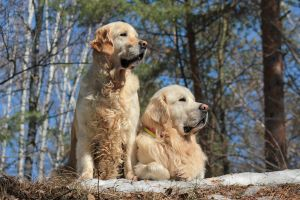 Golden Duo by DeingeL-Dog-Stock