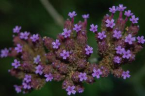 Small Purple Star Flowers by BeccaPanda