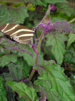 Tiger Butterfly by naneth