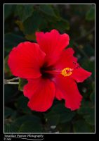Hibiscus Rosa Sinensis by Punt1971