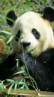 Giant Panda ~ Ueno Zoo by mcbarrette